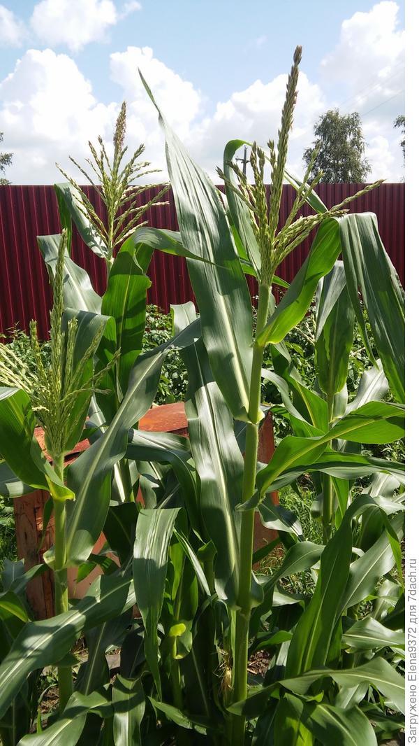 А это наша первая Кукуруза