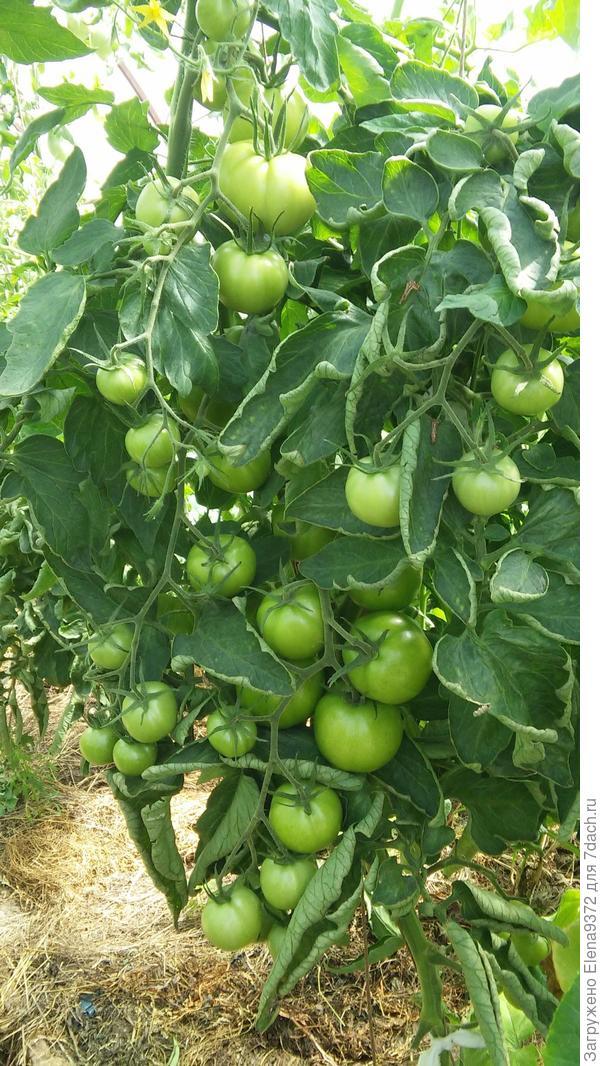 Сочная веточка помидорчиков на засолку.