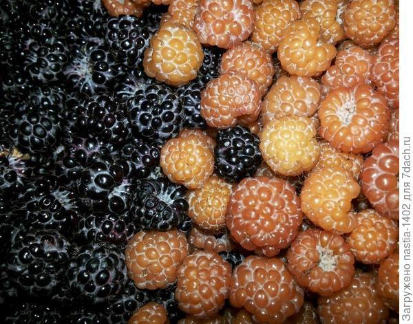 черноплодые и желтоплодные ягоды черной малины