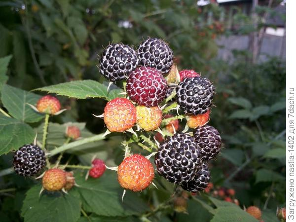 ягоды поспели