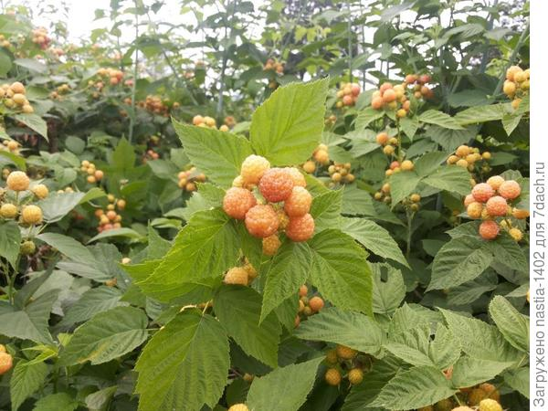ягоды желтоплодной формы черной малины
