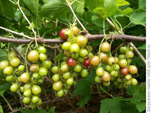 ягоды куста № 3 крупный план