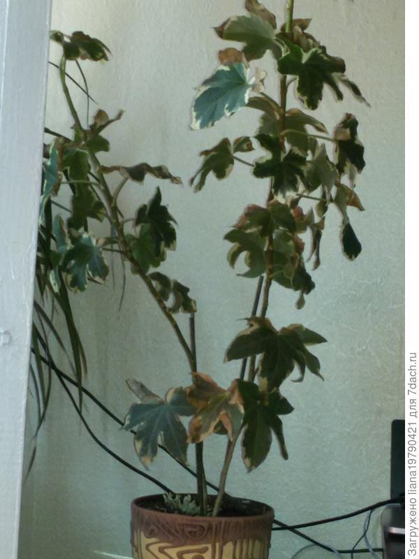 Помогите определить и как вылечить? Листья жухнут и опадают..