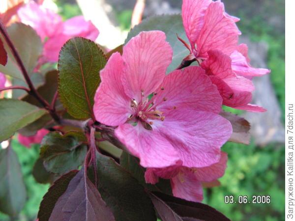Весной и в начале лета листья имеют красную окраску, затем они становятся тёмно-зелёными с красноватыми жилками.