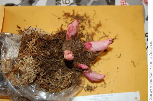 Делёнки, полученные в декабре, до весны хранились в подполе в полиэтиленовых пакетах со мхом. Их вид после извлечения из подпола в марте следующего года.