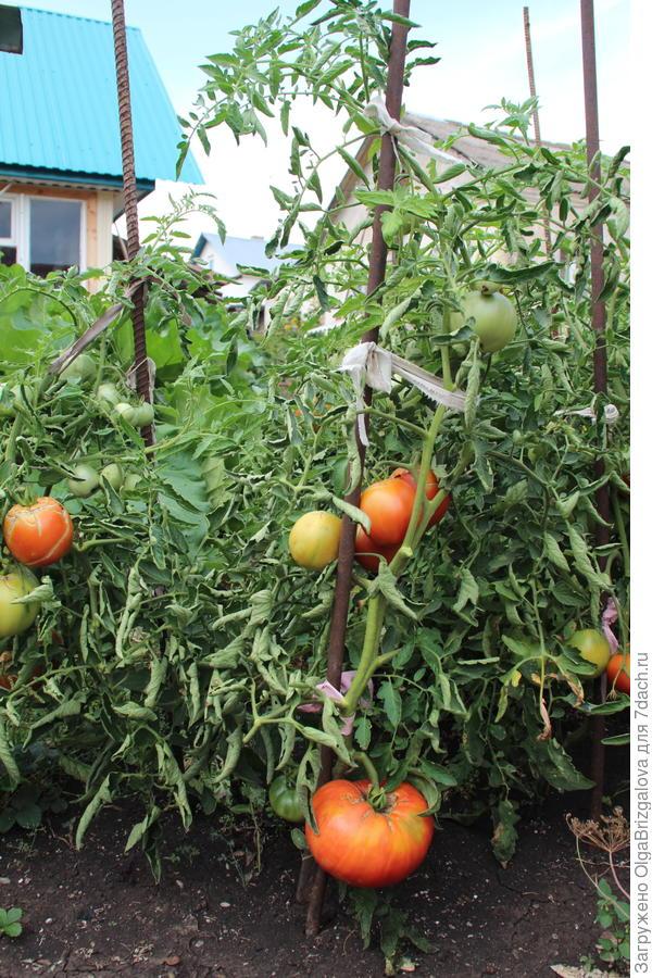 помидорный куст