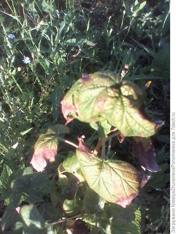 листики скрученные какие-то рыжие пятна, может это болезнь какая-то?