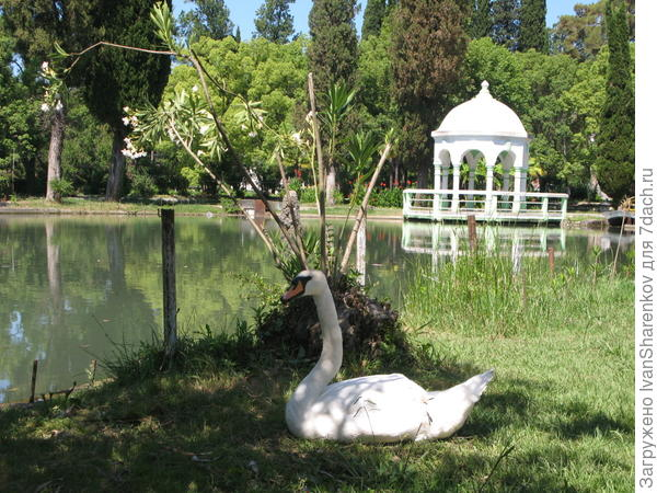 Городской парк с лебедями. июль 2016 г.