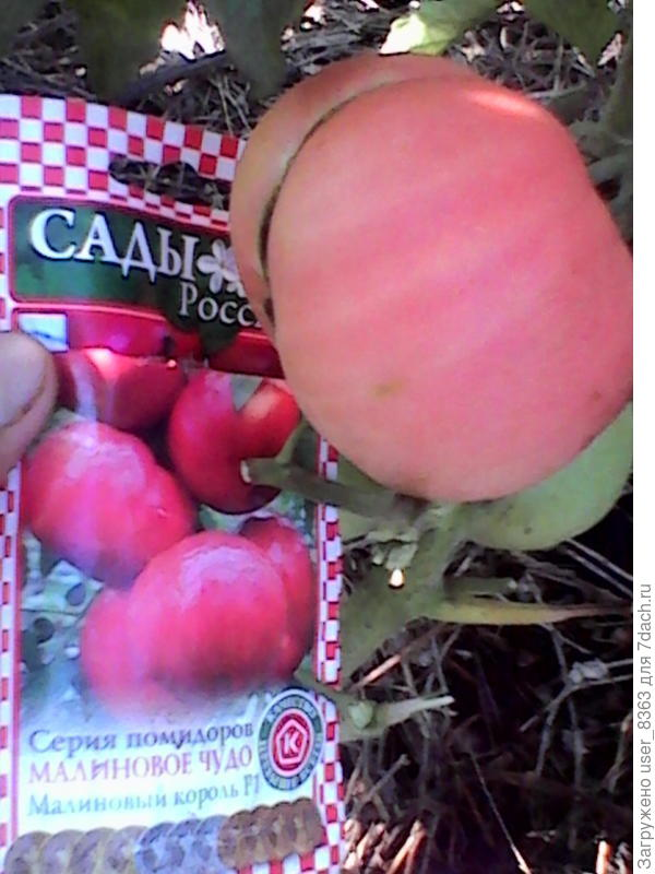 помидор малиновый Багатырь нпо россии