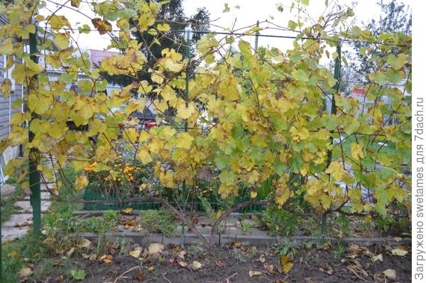 Минский виноград