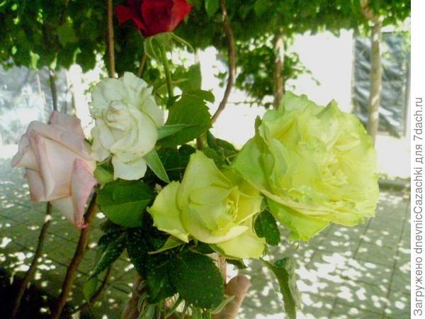 Зелено-цветковые розы.