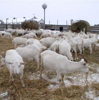 козы молочные зимой