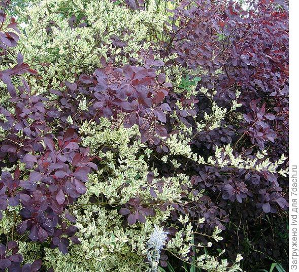 Соседство дёрена белого Elegantissima и барбариса с пурпурной листвой (оттавского, Atropurpurea) построено на контрасте.