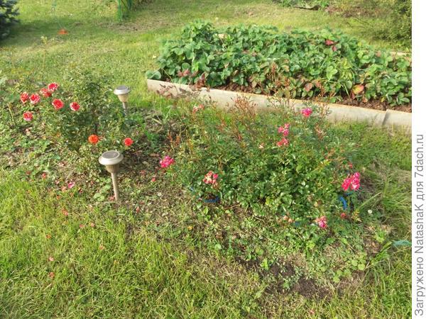 Справа самая любимая, цвета цикламен, сорт не знаю, летом за цветами не видно листьев