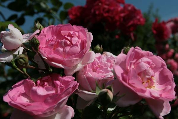 Плетистая крупноцветковая роза JASMINA /W.Kordes, Sohne, 2005, ADR-2007/ с пластичными побегами займет достойное место в саду