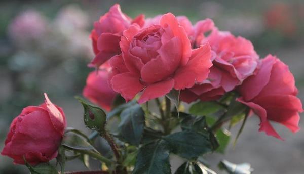 У Cherry Girl /W.Kordes, Sohne, 2009, ADR-2007/, соцветия-букеты и редкого здоровья листва