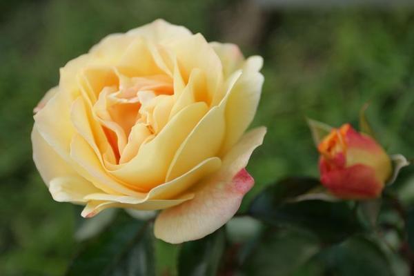 При выборе розы SUNSTAR некоторые любители считают ее чайной /W.Kordes, Sohne, 2007/