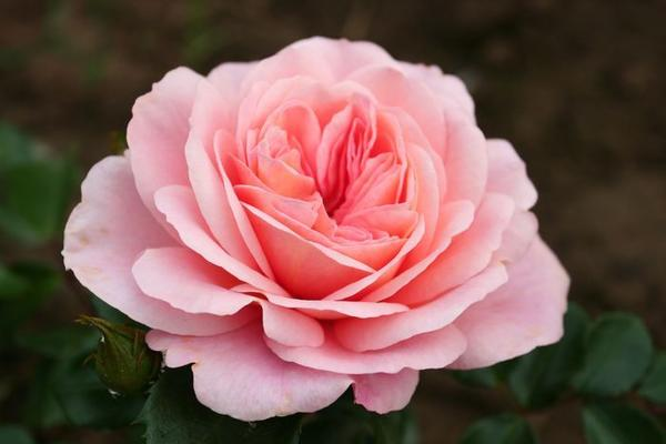 Современная роза флорибунда по качеству цветка не уступают чайно-гибридным /Sangerhauser Jubilaumsrose, W.Kordes, Sohne, 2008/
