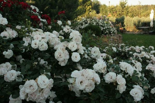 Подмосковный сад, где отдано препочтение белым розам