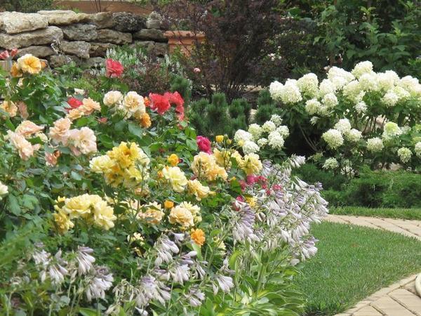 Группа роз в подмосковном саду