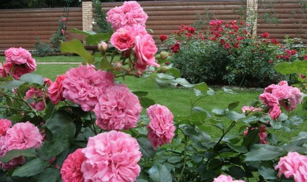 Подмосковный сад, где отдают предпочтение розам