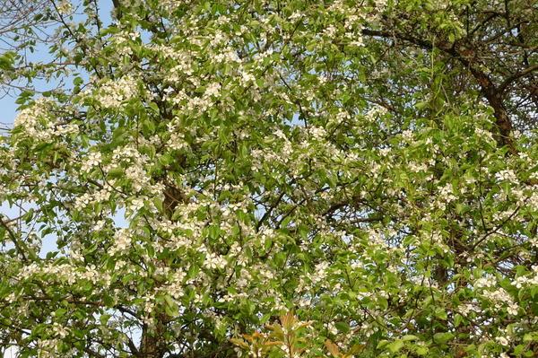 Цветение груш