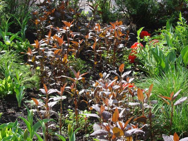 Если вы любите пурпурный цвет, то его действие можно многократно усилить, посадив вербейник, например, с пенстемоном.