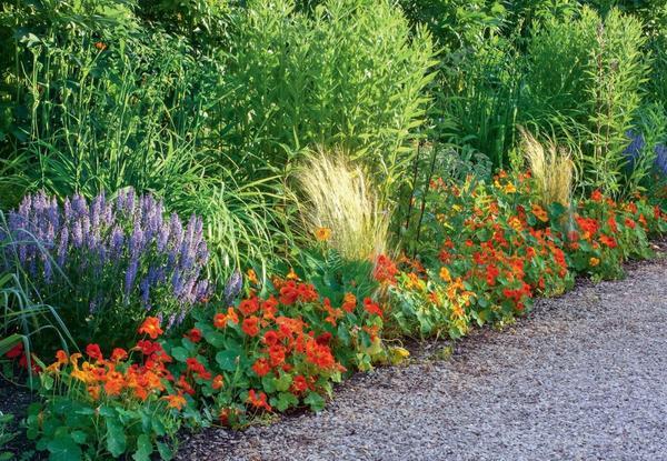 Настурция огненной змейкой вьется на границе цветника и дорожки. Весной растение можно высевать прямо в открытый грунт.