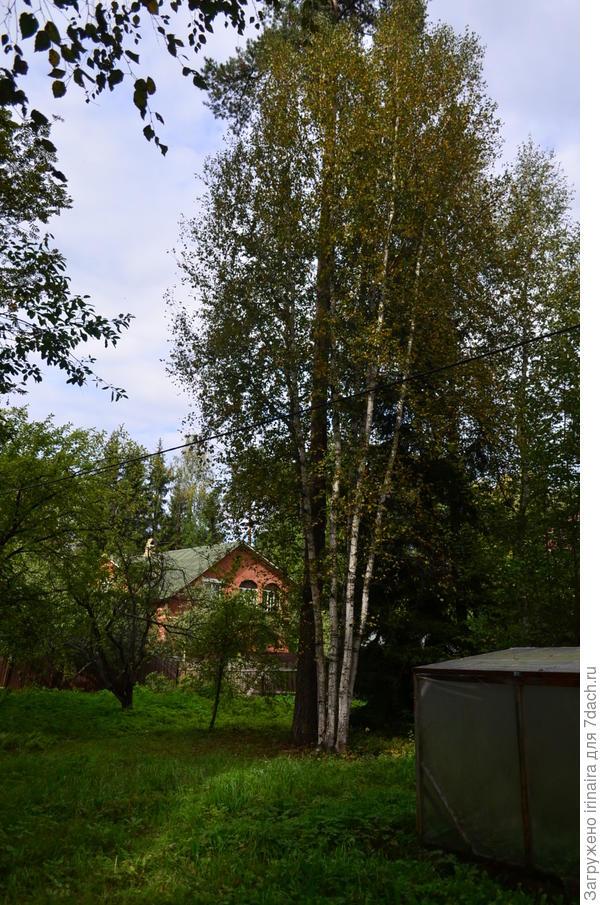 Сосна и вокруг нее букет из пяти берез. На заднем плане выглядывает соседский дом.