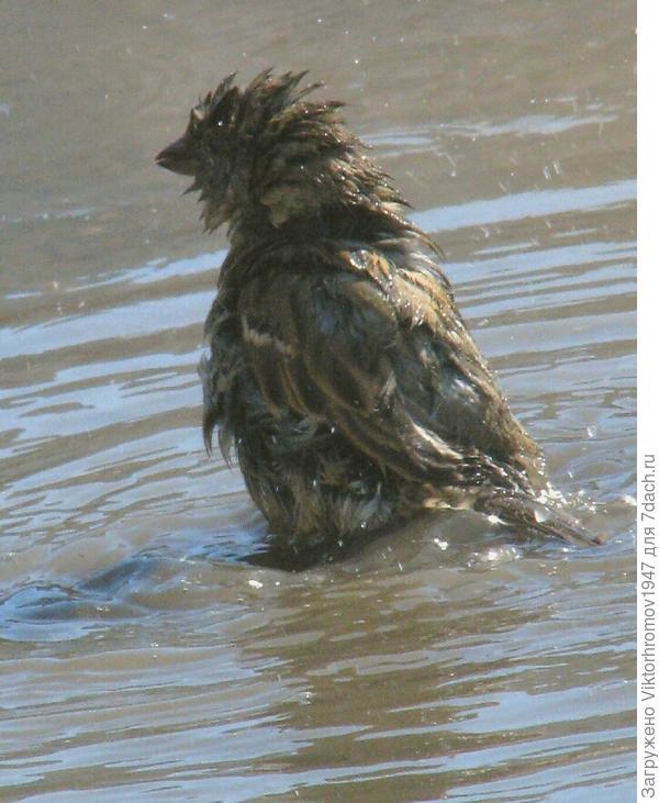 Я не морж,я воробушек который любит купаться.