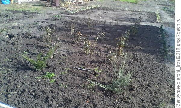 Это еще фото можжевельников и роз. Слева свободная площадка, не знаю. что посадить. Да. можжевельники посажены вдоль террасы-5 шт.