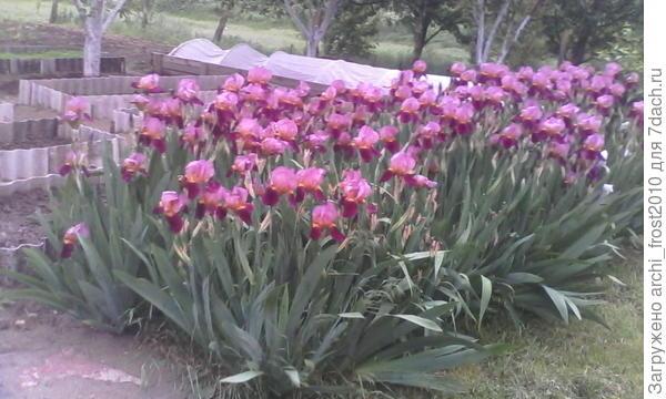 Это мои ирисы весной, которые я сейчас рассадила, очень густо были посажены. Ну вот, как-так! Очень жду идей, купила много семян цветов, как однолетников, так и многолетников.