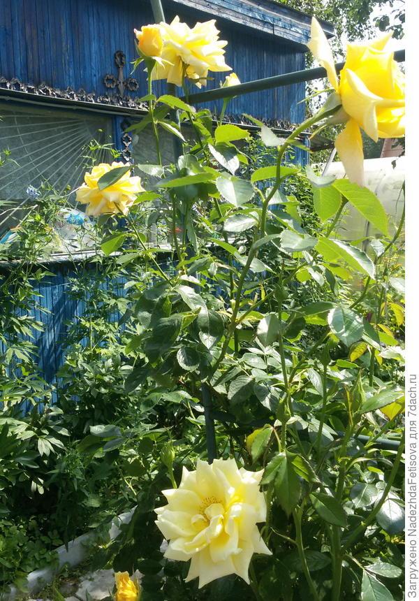 роза плетущаяся желтая