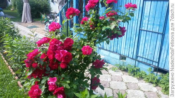 роза плетущаяся красная