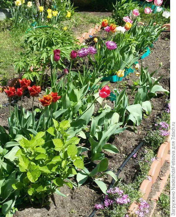 это только часть тюльпанов, кстати видна трубка капельного полива