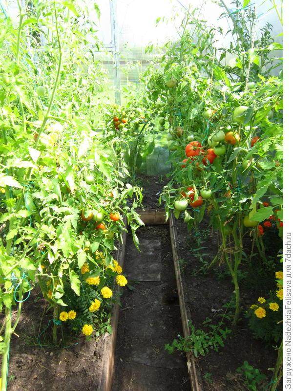 бархатцы среди помидор