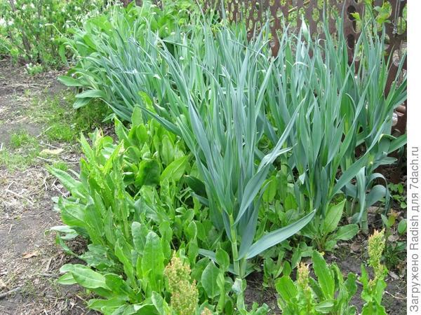 Лук, растущий много лет, сам себе ищет место (рассевается семенами) очень вкусный весной, мощный по росту. Я его зову лук-уксун. но полной уверенности нет.