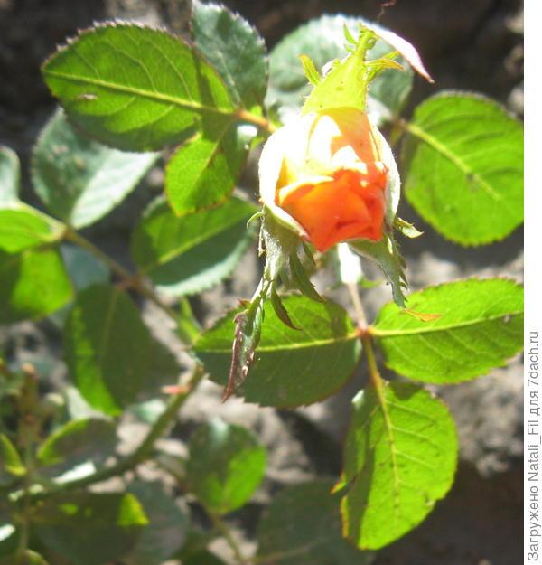 Роза  Серенада в завязи