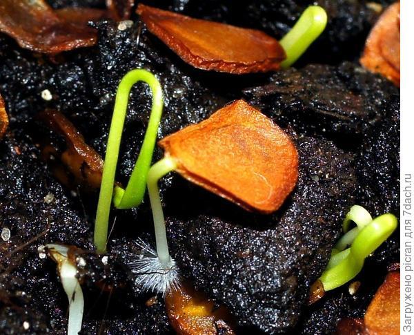 Проростки семян Лилии регале 24.10.2016
