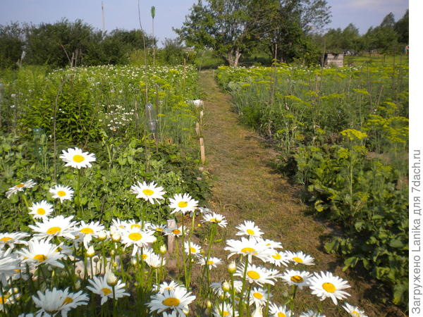 Огород, на заднем плане сад, ширина участка 16 м, длина около 70 м.
