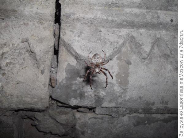 помогите определить вид паука!