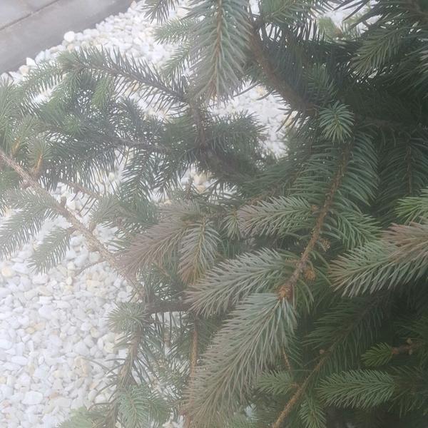 Это другая свиду вроде здоровая но в середине начали елки приобретать фиолетовый цвет . Иголки жёсткие но не все ближе к верху