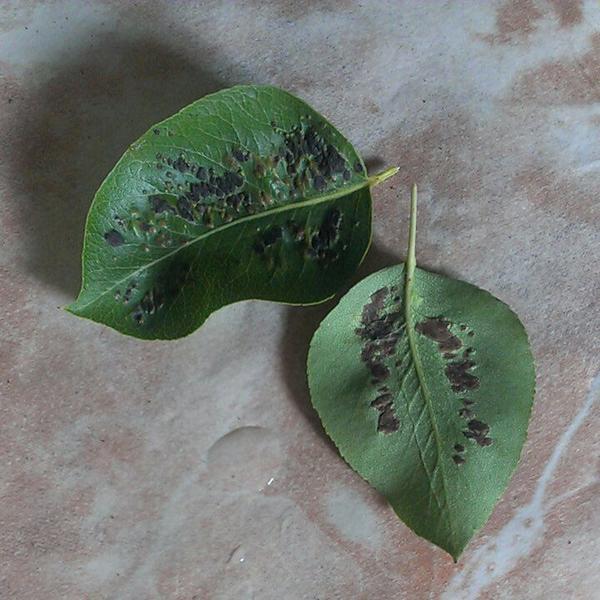 Подскажите что это с грушей, чем обработать, и плоды появляется отверстие и груша портится не успевая созреть