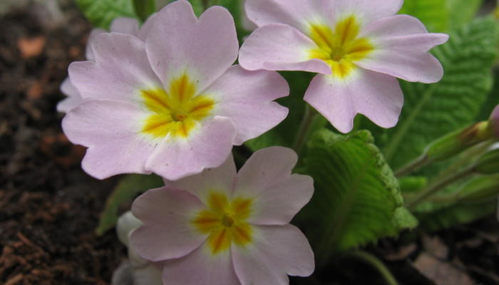 Разноликие примулы: садовые группы, виды, сорта