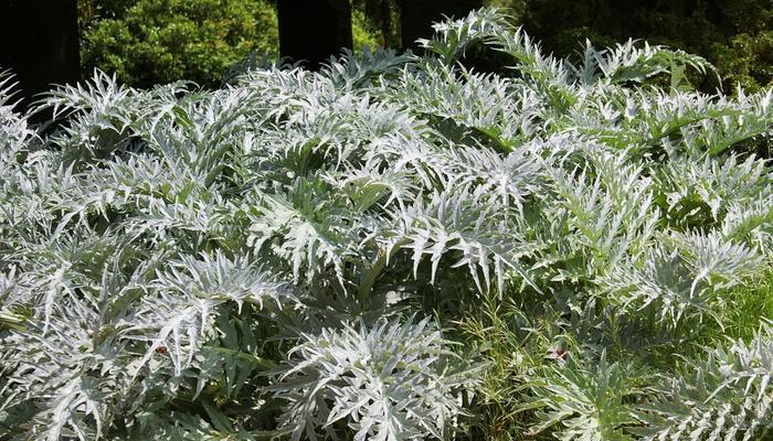 Серебристолистные травянистые растения: клумбы для гурманов