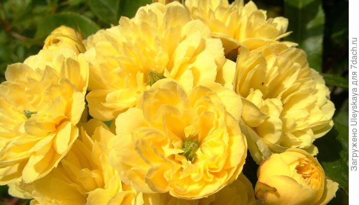 Самые ранние плетистые розы