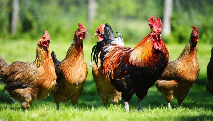 9 фактов, о которых стоит знать прежде, чем завести кур