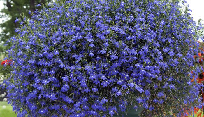 20 голубых цветов для вашего сада