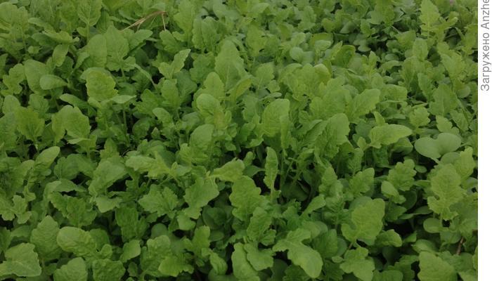 Горчица - и в салат, и как сидерат
