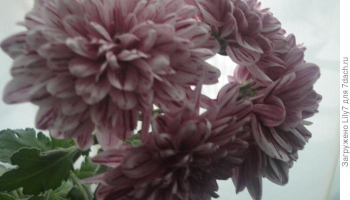 Хризантема расцвела...